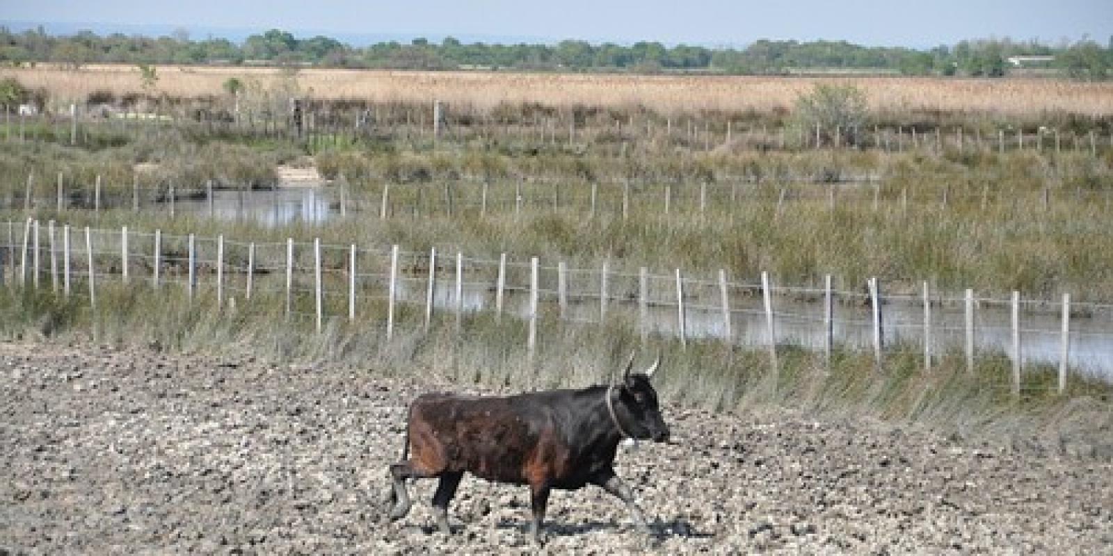 Les élévage de taureaux. L incontournable cheval Camarguais d88ba6a41dc