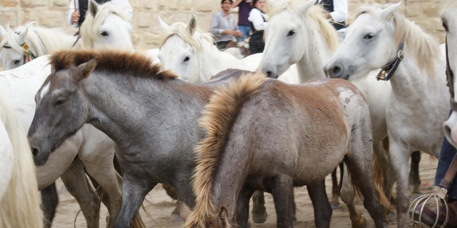c08e8e03c0d La Camargue   Le cheval Camarguais